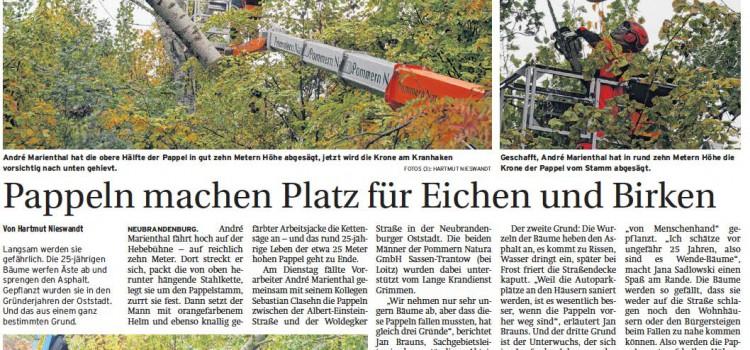 Pappeln machen Platz für Eichen und Birken #neubrandenburg